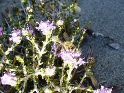 abeille sur thym