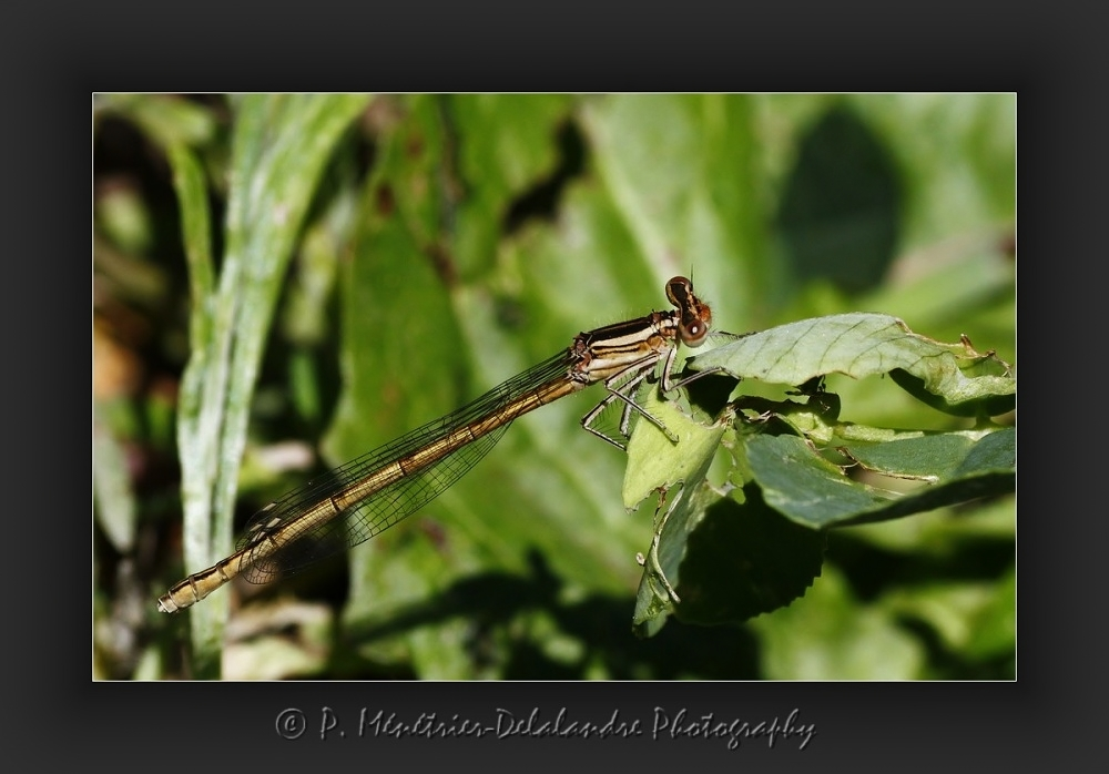 Agrion...
