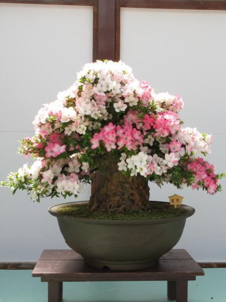 Azalée - Bonsaï (Rhododendron indicum) : taille, rempotage