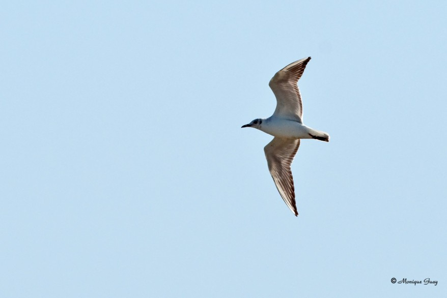 mouette-rieuse-6359.jpg