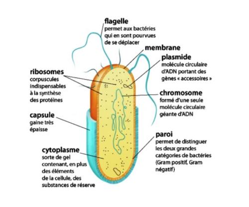 C. Les bactéries