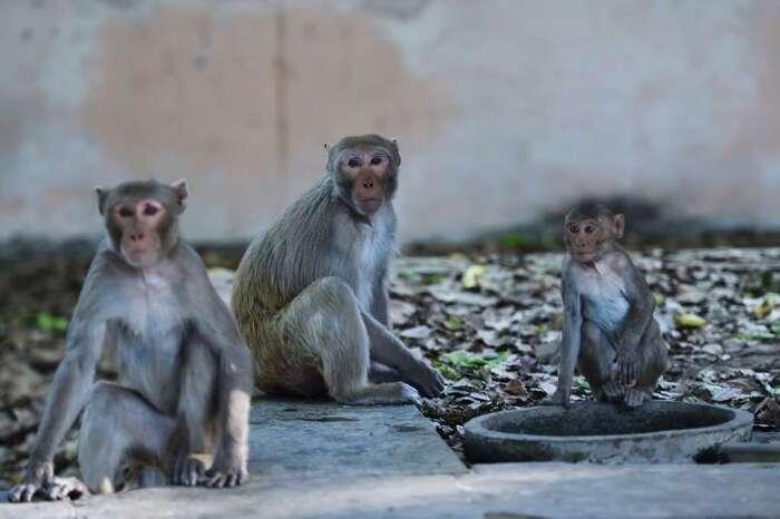 Inde: des singes s'emparent d'échantillons de test sanguins pour le coronavirus