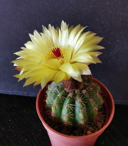 Parodias et notocactus