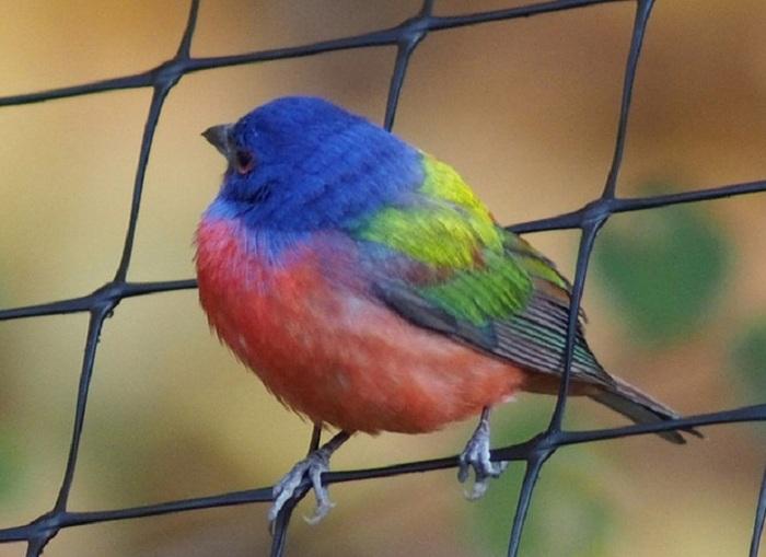 L'observation d'oiseaux multicolores extrêmement rares à New York attire des foules d'amateurs aviaires