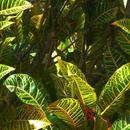 """Croton """"classiques"""" - Photo : Yvon"""