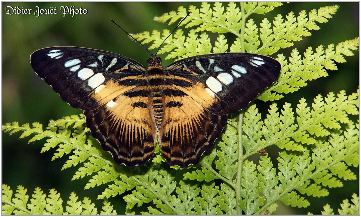 Clipper Brun (3) - Parthenos sylvia