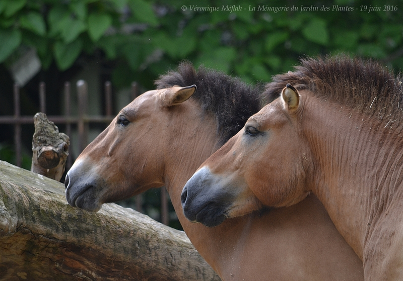 La Ménagerie du Jardin des Plantes : Le cheval de Przewalski