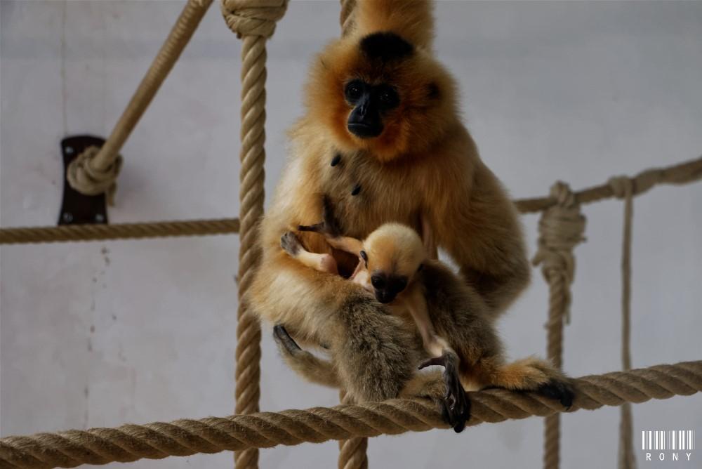 Gibbon à joues jaunes