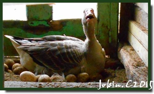 Maman oie sur sa couvée