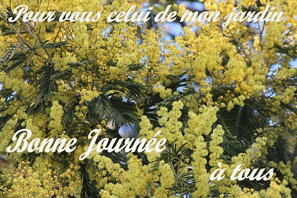le-mimosa-de-mon-jardin.jpg