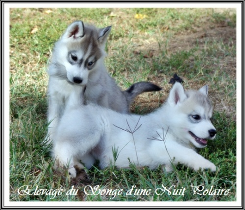Chiots Huskys Groupe (55j)