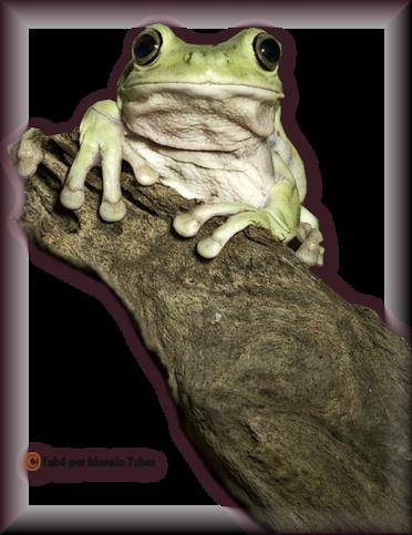 Tube grenouilles / Crapauds 2952