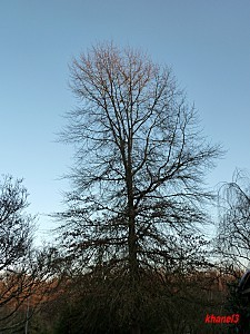 chêne des marias 20février2012