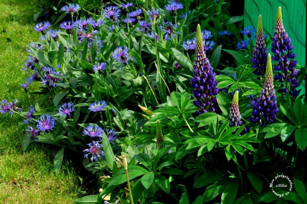 Mon jardin - Quelques fleurs