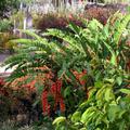 """Massif de """"Becs de perroquets"""", Heliconia rostrata - Habitation Latouche - par Cindy"""