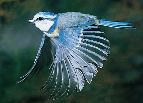 mesange_bleue.jpg