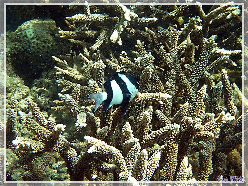Snorkeling à Grande Mitsio : Demoiselle à trois bandes noires ou Demoiselle bonbon, Whitetail dascyllus, Humbug damsel, Threebar dascyllus (Dascyllus aruanus) - Madagascar