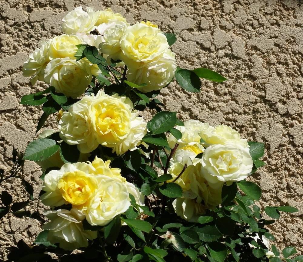Les roses et les épines de 2016...