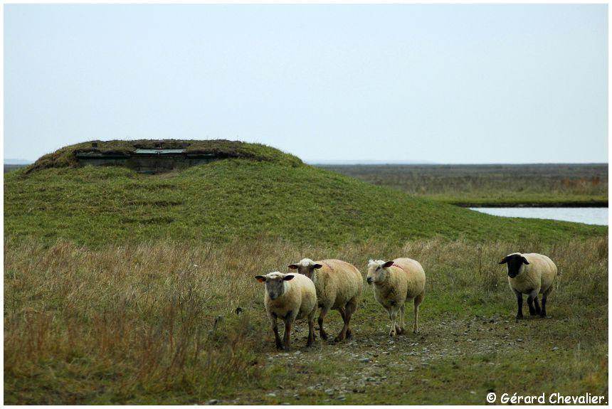 Moutons de prés salés et hutte en Baie de Somme.