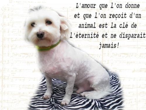 Mon chien - Donny bichon maltais