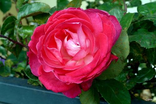 Des roses et des feuilles de lierre ...