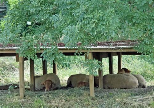 Les moutons sont revenus sur l'île de Bohan
