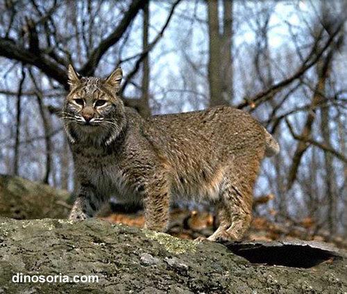 Cryptozoologie:  Les mystérieux chats d'Angleterre