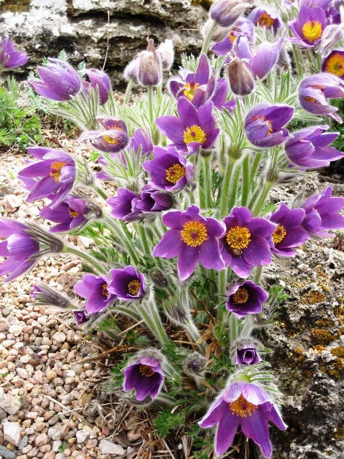 Top 10 des fleurs qui feront de votre jardin un paradis pourpre