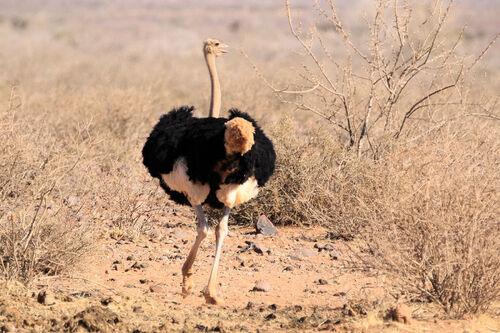 Autruche d'Afrique (Common Ostrich)