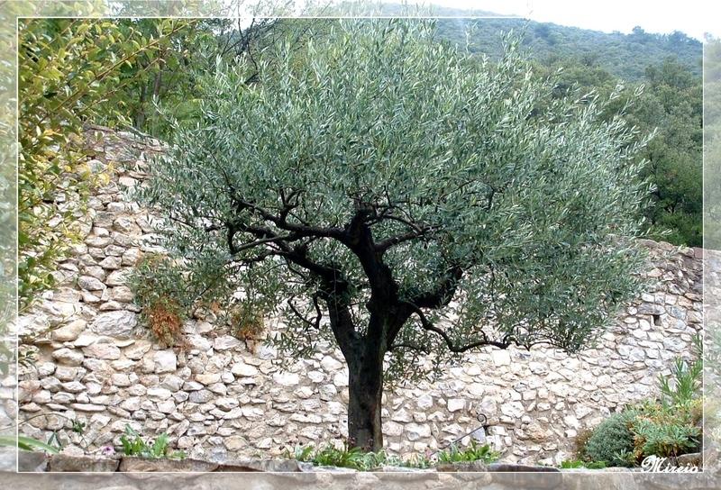 Un olivier à Brantes (84)