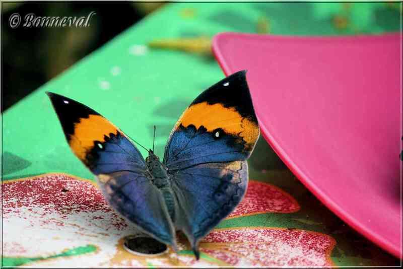 Papillons tropicaux Kallima paralekta Nymphalidae
