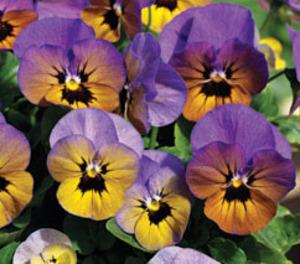 Jardinières et suspensions à l'heure d'automne...viola penny marlies