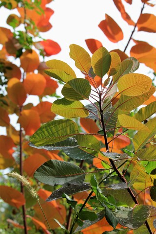 cotinus Grace