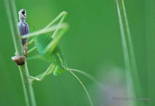 Phanéroptéra nana - sauterelle juvénile