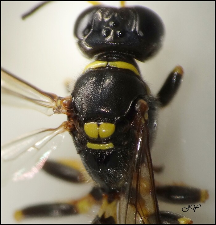 Crossocerus binotatus.
