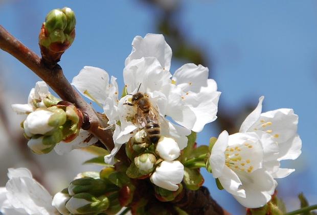 cerisier13e