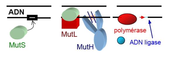 Mutations de l'ADN, réparation, épigénétique.