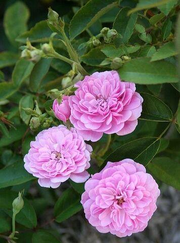 Les Roses de Warren : Rhapsody in Pink
