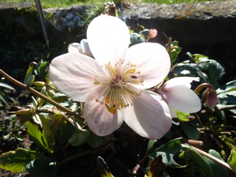 """""""Rose des neiges"""" ..."""