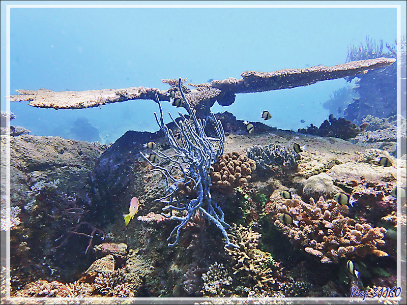 Éponge corde à pores alignés, Row pore rope sponge (Aplysina cauliformis) - Les Tétons - Tsarabanjina - Archipel Mitsio - Madagascar