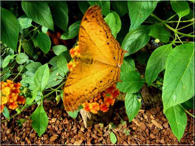 Papillons tropicaux Vindula dejone Nymphalidae Heliconiinae