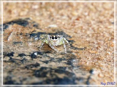 La petite araignée sauteuse (Saltique, Salticidae) à qui j'ai peut-être sauvé la vie - Nosy Sakatia - Madagascar
