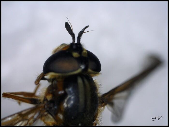 Larve de Syrphidae.