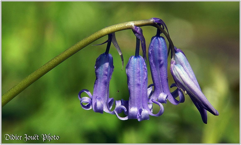 Jacinthe des Bois / Hyacinthoides non-scripta
