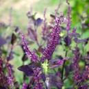 La Flore sur le Piton Coeur - Basilic sacré (2) - Photo : Wiki et Giloucat