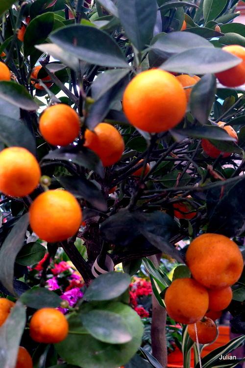 Des petits fruits : kumquat