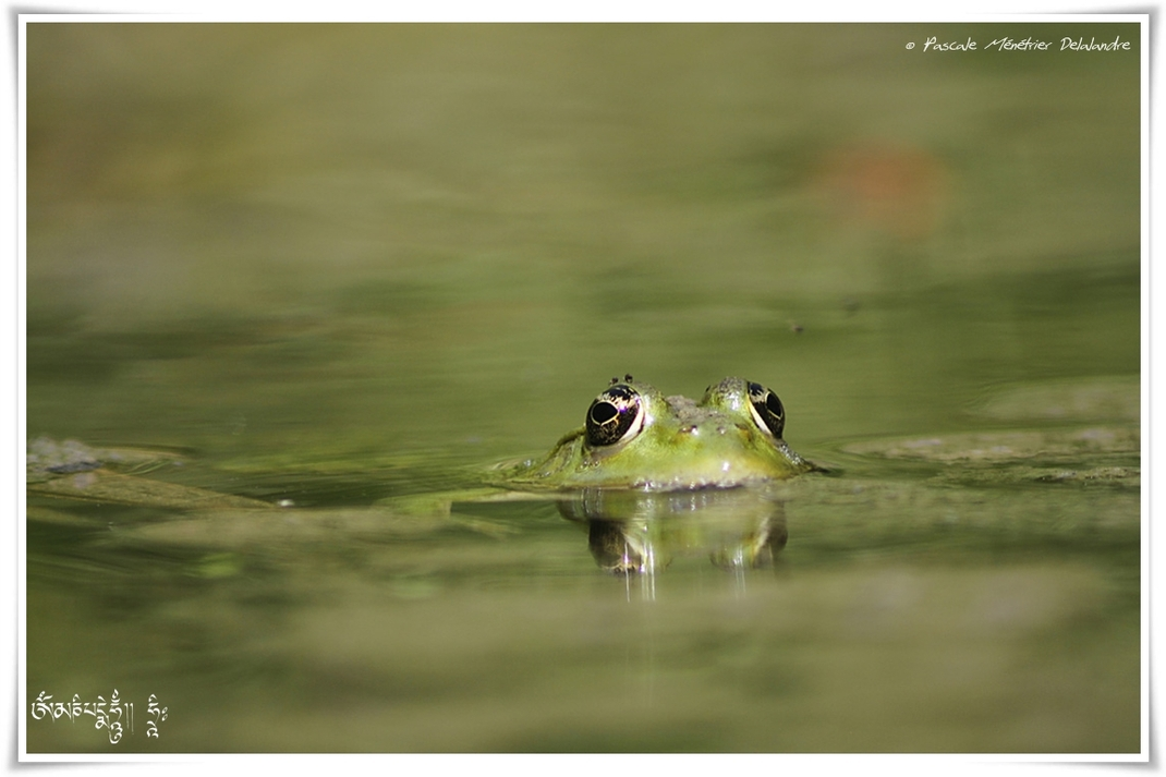 Grenouille curieuse et petites mouches...