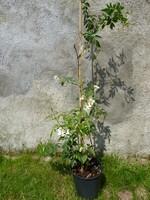 pandorea pandorana (vigne wonga-wonga)