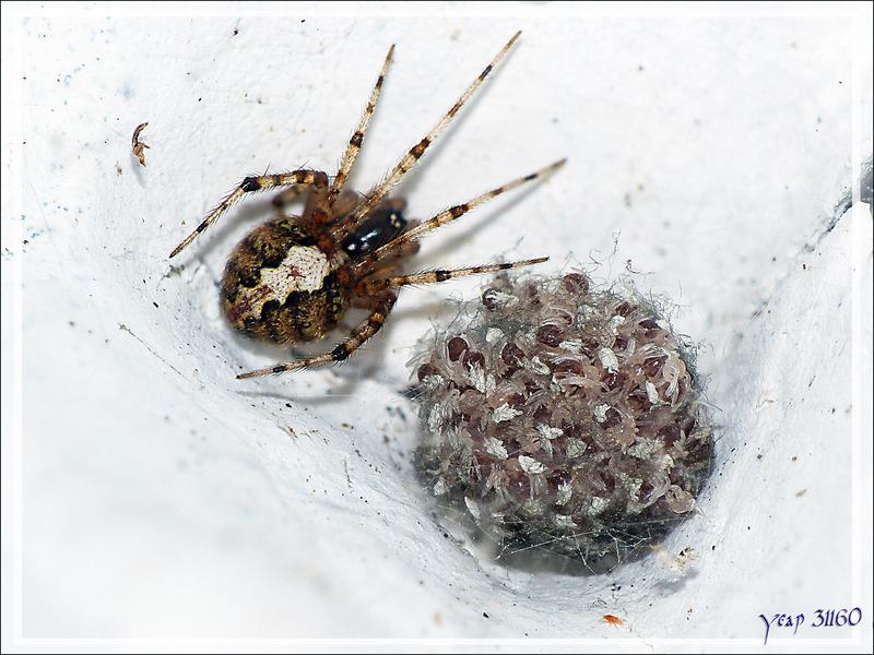 Araignée Theridion sp. femelle et sa couvée ... avec un mâle Sardinidion (ex Theridion) blackwalli à l'affût - La Couarde-sur-Mer - Île de Ré - 17
