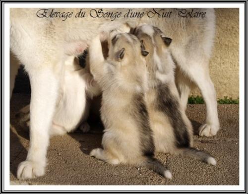 Elevage Husky Chiots
